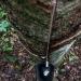 Preço mínimo da borracha garante produção em Resex da região amazônica